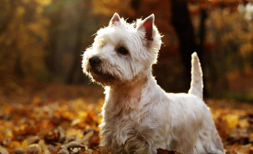 vendo west highland white terrier