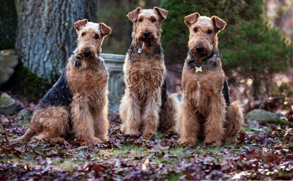 venta airedale terrier