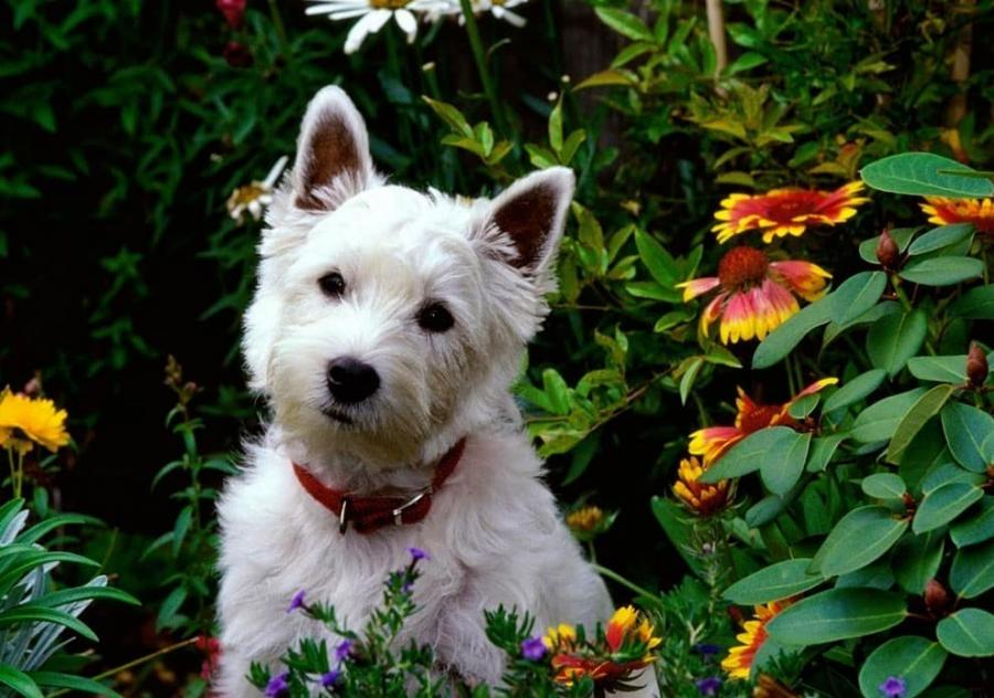 westies west highland white terrier