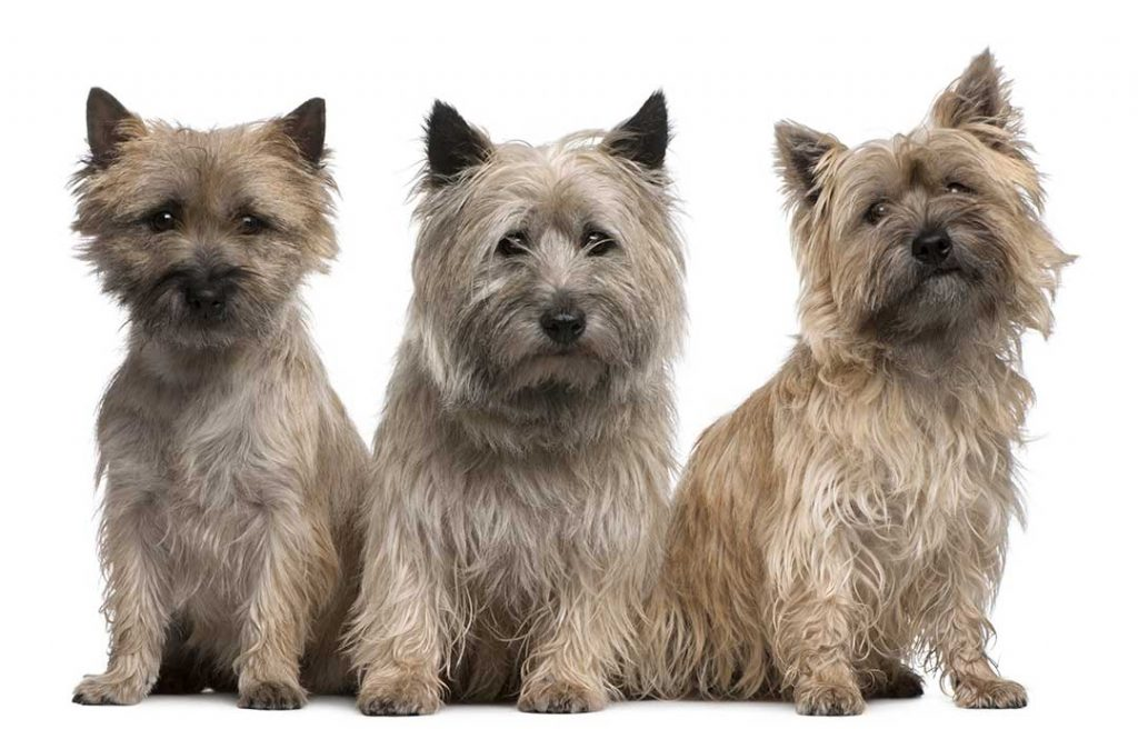 Cairn Terriers 02